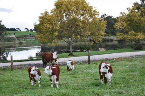 Inquisitive cattle can occasionally be seen near Little Lake Cottage