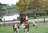 Little Lake Cottage - Cattle