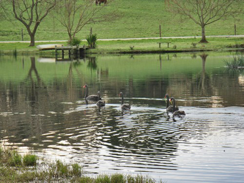 Black swans can often be seen on Little Lake